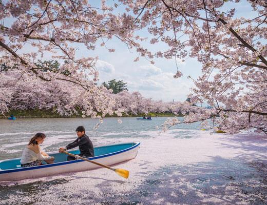 Sakura,-Sakura
